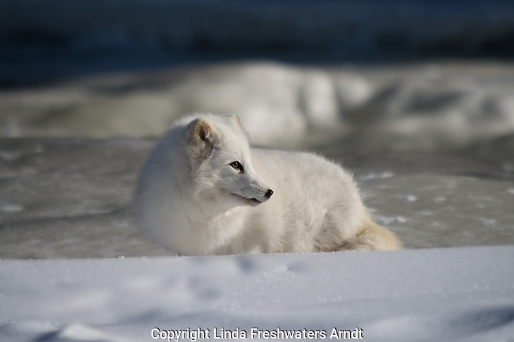 Arctic fox (Alopex lagopus) stopping to look at something