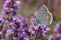 Hauhechelbläuling, Hauhechel-Bläuling, Gemeiner Bläuling, Wiesenbläuling, Blütenbesuch an Thymian, Thymus, Polyommatus icarus, Lycaena icarus, common blue, common blue butterfly, L'Argus bleu, Azuré commun, Azuré de la Bugrane