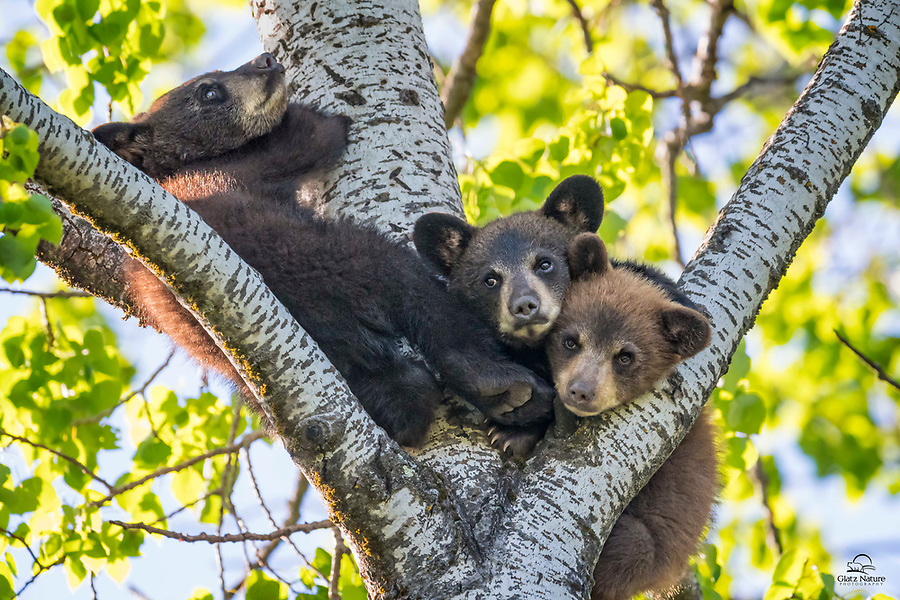 These three spring Black Bear (Ursus americanus) cubs spent over an hour cuddled high up in the crook of the tree (about 80 feet above ground!), napping. They all woke up a few minutes before this image was taken. Seems chill and calm, right? Well it was, for about three minutes. Then all hell broke loose when the brown colored cub on the lower right decided that it wanted to be on top. Much pushing, shoving and biting followed. Even the cub on the far left couldn't stay out of it. That cub got bit on the butt and the feet by both of the others but it didn't budge. Amazing that no one fell out of the tree. Northern Minnesota.
