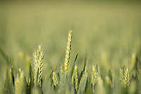 15-6-2021 Ear of Wheat <br /> ©Tim Scrivener Photographer 07850 303986<br />      ....Covering Agriculture In The UK....