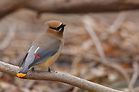 Cedar Waxwing (Bombycilla cedorum cedorum), individual with rare orange-tipped tail, sitting on branch.