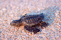 Kemp's ridley sea turtle hatchling, Lepidochelys kempii (endangered), Rancho Nuevo, Mexico (Gulf of Mexico), Atlantic Ocean