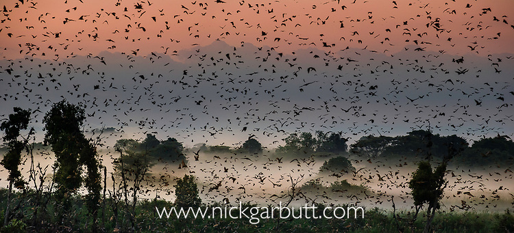 Straw-coloured fruit bats (Eidolon helvum) returning to daytime roost in misty swamp forest just before sunrise. Kasanka National Park, Zambia.