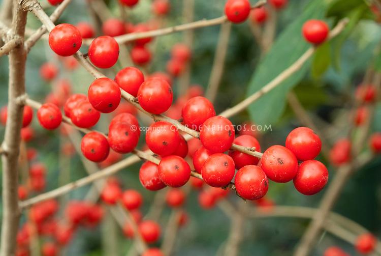 Ilex verticillata 'Berry Heavy' berries holly