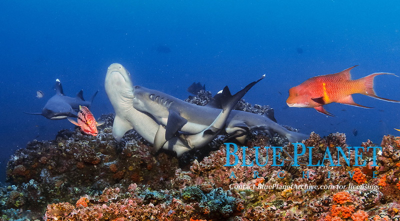 whitetip reef shark, Triaenodon obesus, mating, Mexican hogfish, Bodianus diplotaenia, in the background, Cocos Island National Park, Costa Rica, Pacific Ocean