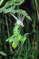 Zwitscherschrecke, schlüpft aus Larvenhaut, Schlupfserie, Schlupf, Zwitscher-Heupferd, Zwitscherheupferd, Zwitscher-Schrecke, Heupferd, Tettigonia cantans, twitching green bushcricket, eclosion, Tettigoniidae