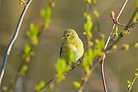 Female American Goldfinch (Carduelis tristis)