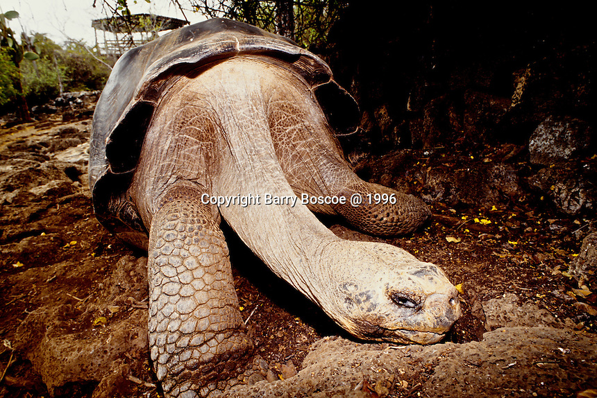 The Galapogos giant tortoise is probably the best known of all Galapagos animals and even gave the archipelago its name; 'Galapago' means tortoise in Spanish.  Galapagos, Equador.