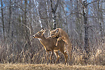 White-tailed fawn attempting to mount a doe.