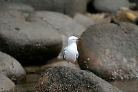 Silver Gull at Port Arthur, Tasmania