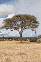 Tanzania. Tarangire National Park.  Birds Nests in Acacia Tree.
