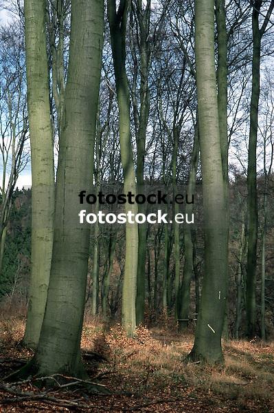 autumnal forest of beeches <br /> <br /> hayedo en otoño<br /> <br /> Buchenwald im Herbst<br /> <br /> Original: 35 mm slide transparancy