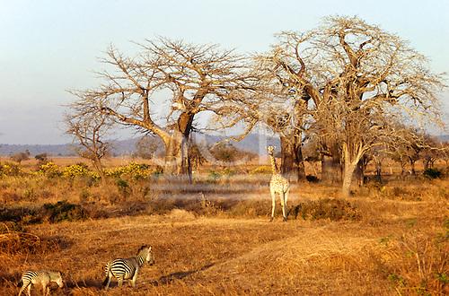 Mikumi Park, Tanzania. Wildlife safari reserve; two zebras and a giraffe in savannah with some trees.