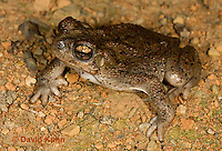 1101-0815  Adult Red-spotted Toad in Desert (Southwestern United States), Anaxyrus punctatus, formerly Bufo punctatus  © David Kuhn/Dwight Kuhn Photography.