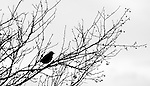 Skagit Valley, Washington,American robin