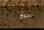 Northern Pintail Male, Drake, Bosque del Apache Wildlife Refuge, New Mexico