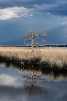 Barren tree in winter salt marsh, Currituck, North Carolina, USA