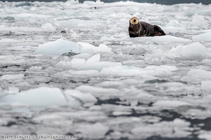 Sea Otter rests on ice berg in Barry Arm at Barry Glacier in Prince William Sound.  Summer, Alaska   Wildlife <br /> <br /> Photo by Jeff Schultz/  (C) 2019  ALL RIGHTS RESERVED