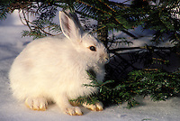Snowshoe hare in winter coat..Camouflage in snow. North America..(Lepus americanus).