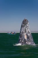 An adult California Gray wh (Eschrichtius robustus) spy-hopping (note the eye above water) in San Ignacio Lagoon on the Pacific Ocean side of the Baja Peninsula, Baja California Sur, Mexico. Each winter thousands of California gray whales migrate from the Bering and Chukchi seas to breed and calf in the warm water lagoons of Baja California. San Ignacio lagoon is the smallest of the three major such lagoons. Current (2008) population estimates put the California Gray wh at between 20,000 and 24,000 animals.