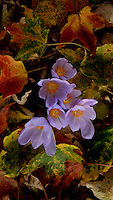 fall crocus, mingling with autumn leaves