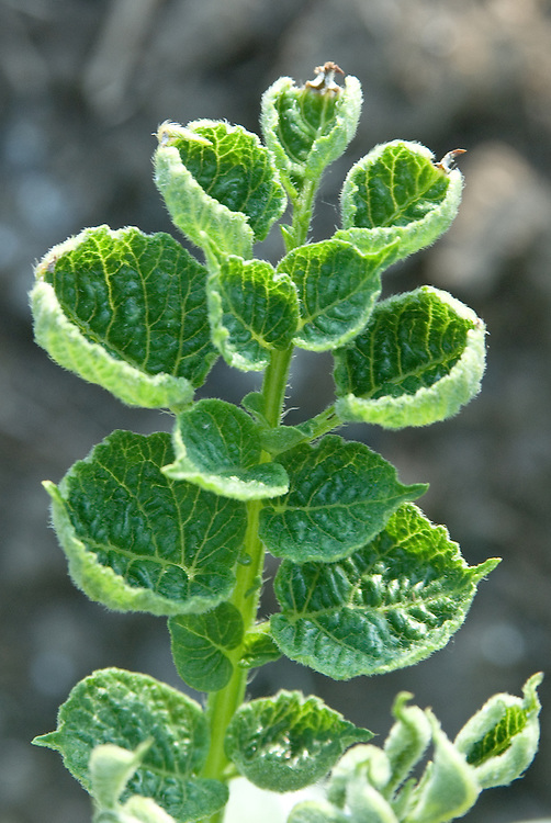 Distorted, stunted growth on potato plant foliage caused by the hormone weedkiller aminopyralid.