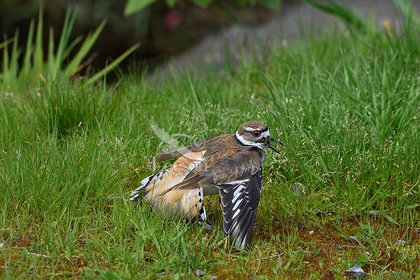 """Killdeer (Charadrius vociferus) acting injured or faking """" broken wing"""" display; it is also drawing attention to itself by calling.  This display is done to draw predators or humans away from nest; bird is not really injured.  Western U.S., spring."""
