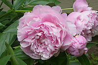 Paeonia peonies herbaceous perennial pink flowers peony in late spring early summer