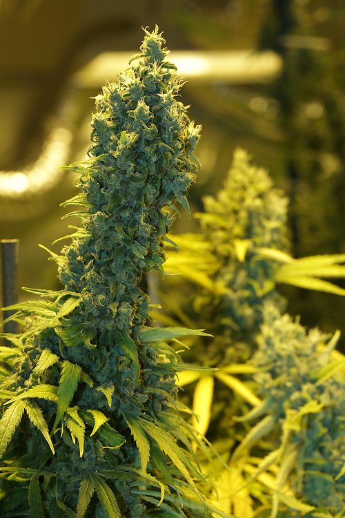 Marijuana indoor growing