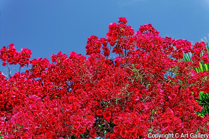 Bloom, Balboa, CA