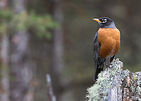 The American robin is a common songbird seen in the park in spring and summer.
