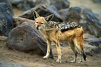 Black-backed Jackal, Canis mesomelas, Namibia, Africa