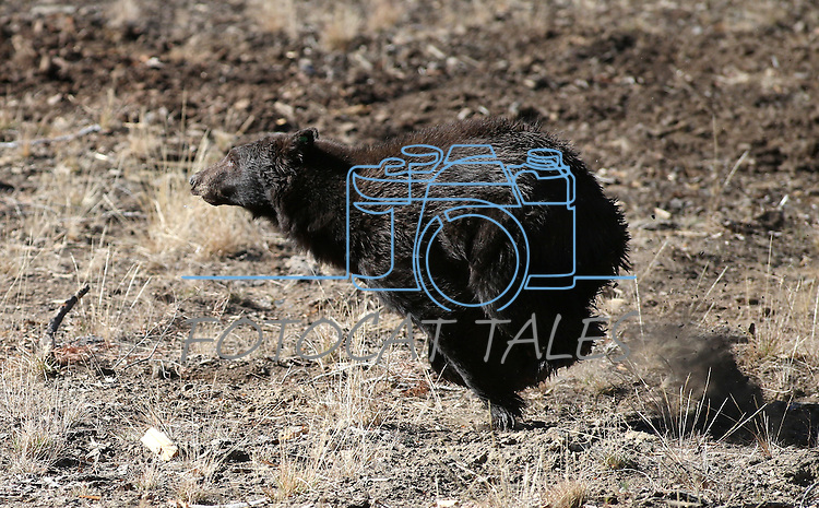 An adult male black bear gets released in the mountains west of Carson City on Wednesday, Oct. 23, 2013. The bear is one of about 10 bears captured in the past week in the south Reno and west Carson City neighborhoods.  <br /> (Cathleen Allison/Las Vegas Review-Journal)