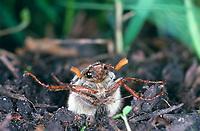 Maikäfer, schlüpft im Frühjahr aus dem Boden, Schlupf, Gemeiner Maikäfer, Feld-Maikäfer, Feldmaikäfer, Mai-Käfer, Melolontha melolontha, maybeetle, may-beetle, common cockchafer, maybug