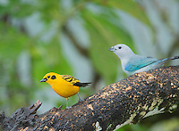 Golden tanager, Tangara arthus goodsoni, and blue-gray tanager, Thraupis episcopus. Tandayapa Valley, Ecuador
