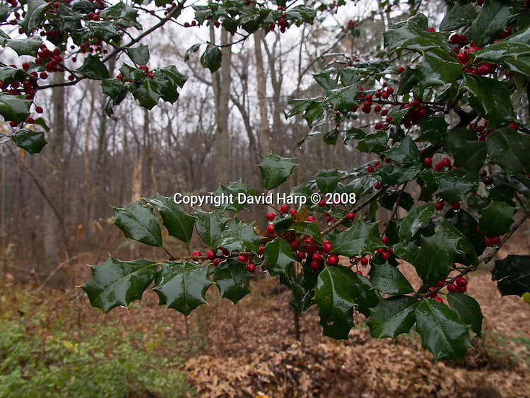 American holly is common in the understory of Choptank forests.