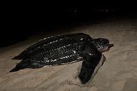 Endangered Leatherback Turtle.<br /> arriving at Sandy Point Wildlife  Refuge.<br /> St Croix, U.S. Virgin Islands