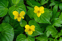 Yellow Violet or stream violet or pioneer violet (Viola glabella).  Cascade Mountains, WA.  May.