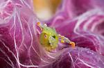 Lobiger viridis, sapsucking slug, nudibranchs, oxynoidae