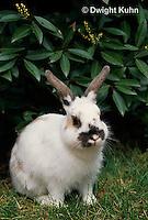 SH13-001z   Pet Rabbit - Dwarf