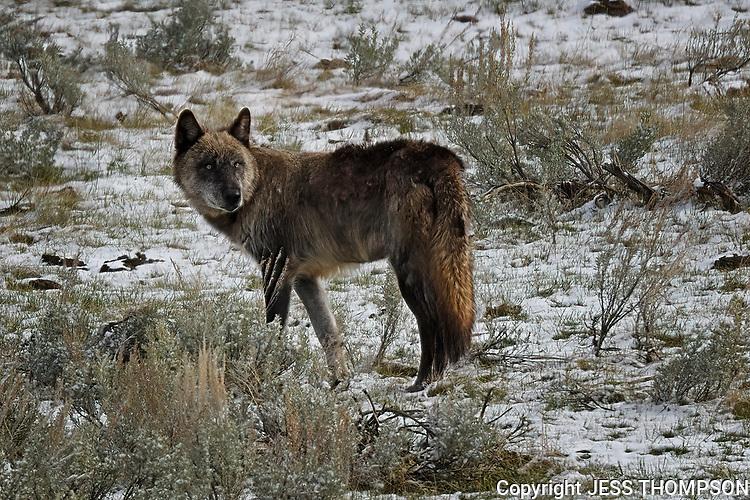 Wolf, Yellowstone