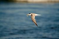 Little Tern in flight with Fish at Pottsville Beach