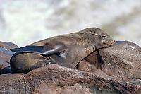 Young Cape Fur Seal (Arctocephalus pusillus), sleeping, Cape Cross, Atlantic coast, Namibia, Africa
