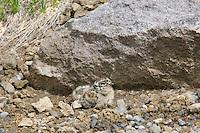 White-tailed Ptarmigan chick (Lagopus leucurus).  Mount Rainier National Park, WA.  Summer.