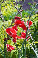 Gladioli Baccara red with white edge picotee bulb