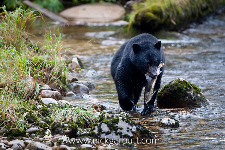 Adult black bear (Ursus americanus) by stream carrying salmon, Princess Royal Island, Great Bear Rainforest, British Columbia, Canada, September