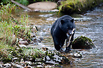 Adult black bear (Ursus americanus) by stream carrying salmon, Princess Royal Island, Great Bear Rainforest, British Columbia, Canada, September