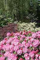 Pink rhododendrons in bloom, Japanese maple, dogwood in garden landscape