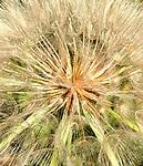 Center of dandelion