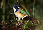 Pitta-like Ground Roller (Atelornis pittoides) in rainforest undergrowth. Andasibe-Mantadia NP, eastern Madagascar.